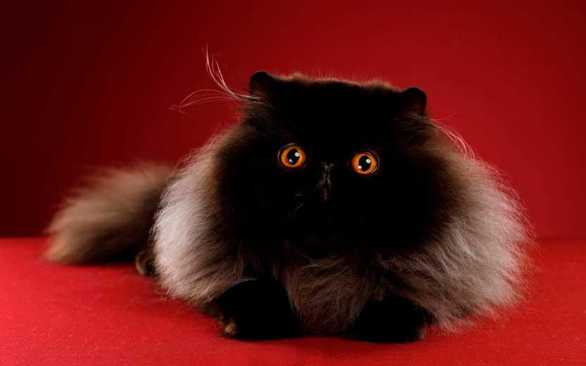 Fotografo animali domestici sguardo di in gatto